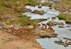 Impalaherde an einer Flussüberquerung lizenzfreie stockfotos