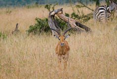 Impalaherten in Masai Mara, Kenia Royalty-vrije Stock Foto