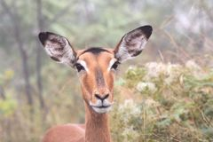Impalakvinnlig royaltyfria bilder