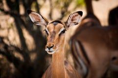 Impalakvinnlig Arkivfoto