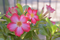 Impalalelie; Onechte Azalea Royalty-vrije Stock Foto's