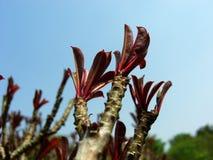 Impalalilie Adenium Lizenzfreie Stockfotos
