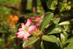 Impalalilie Adenium - rosa Blumen am Garten Stockfotos