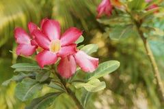 Impalalilie Adenium - rosa Blumen am Garten Stockfoto