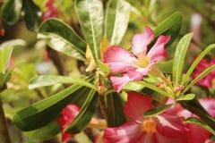 Impalalilie Adenium - rosa Blumen am Garten Stockbild
