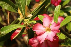 Impalalilie Adenium - rosa Blumen am Garten Stockbilder