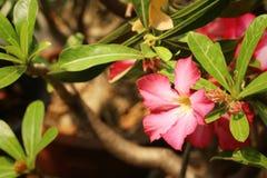 Impalalilie Adenium - rosa Blumen am Garten Lizenzfreies Stockbild