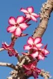 impalalilja Royaltyfri Fotografi