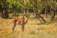 Impalamannetje in Botswan Royalty-vrije Stock Afbeeldingen