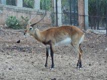 Impalan Afrika Arkivfoton
