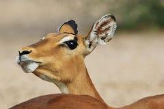Impalan - djurlivbakgrund från Afrika - den envisa naturen blidkar Royaltyfri Fotografi