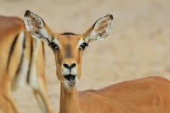 Impalan - djurlivbakgrund från Afrika - naturen blidkar Fotografering för Bildbyråer