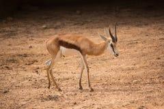 Impalan från africa i safari parkerar, Thailand arkivfoton