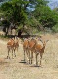 Impalaooien stock foto's