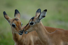 Impalas Royalty Free Stock Photo