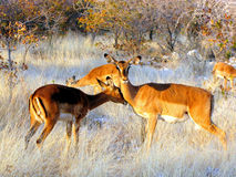 Impalas Royalty Free Stock Photography