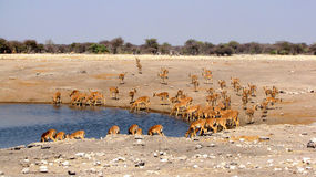 Impalas Royalty Free Stock Images
