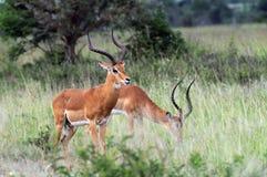 Impalas Stock Photo