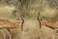 impalas 2 бой Стоковое Фото