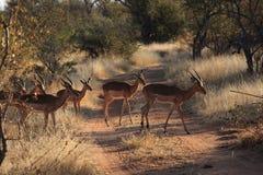 Impalas Image stock