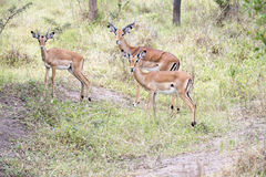 Impalas Royalty Free Stock Photos