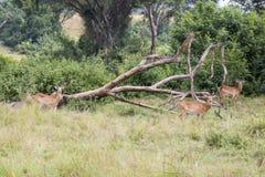 impalas Royaltyfri Foto