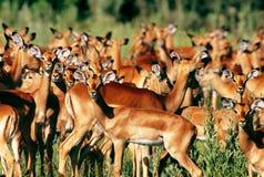 impalas Fotografia Royalty Free