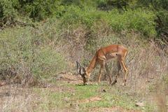 impalas Fotografia Stock