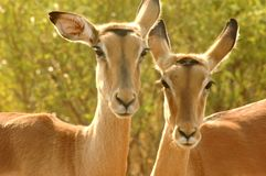 Impalas. Outdoor head portrait of two Impala gazelles Royalty Free Stock Photo