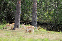 impalas Royalty-vrije Stock Afbeelding