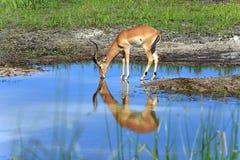 impalas Obrazy Royalty Free