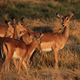 impalas Photos stock