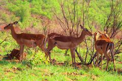 impalas Fotografie Stock