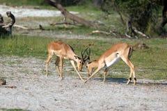 impalas Стоковое Изображение