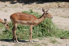 impalas Fotos de archivo