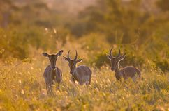 3 Impalas aepyceros melampus walking through the bush in the Kruger park, backlit at golden hour. South Africa. 3 Impalas aepyceros melampus walking through the royalty free stock photos