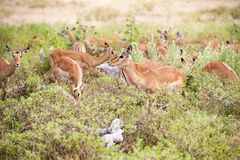 Impalas in African bush Stock Photography