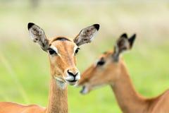 Impalas in the African savanna. Mikumi National Park, Tanzania Stock Images