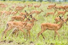 Impalas in the African savanna. Mikumi National Park, Tanzania stock photos