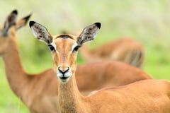 Impalas in the African savanna. Mikumi National Park, Tanzania Royalty Free Stock Photos