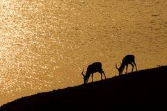 Impalas africani Fotografia Stock Libera da Diritti