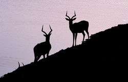 Impalas africanos Imágenes de archivo libres de regalías