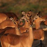 Impalas all'indicatore luminoso di mattina Immagine Stock Libera da Diritti