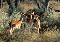Impalas in the Bush. Khwai River, Botswana Stock Images