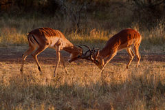 Impalas clashing horns. Two Impalas clashing horns in the early morning light stock image
