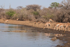 Impalas and crocodiles Royalty Free Stock Photos