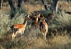 Impalas dans le Bush Images stock