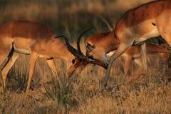 Impalas de la lucha Imágenes de archivo libres de regalías