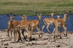 Impalas devant le fleuve de Chobe Photos stock