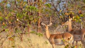 Impalas en la sabana Fotos de archivo